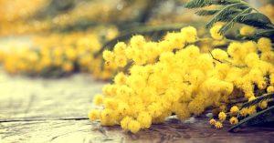 Mimosa: fiore simbolo della Festa della donna